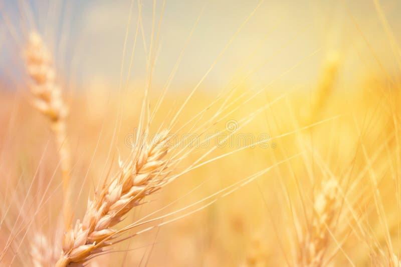 Produto natural de campo de trigo Spikelets do trigo em clos da luz solar foto de stock royalty free