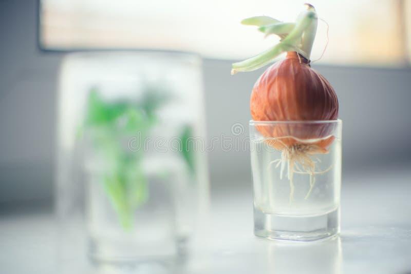 Produzca las cebollas en agua en un pequeño vidrio en el alféizar fotos de archivo libres de regalías