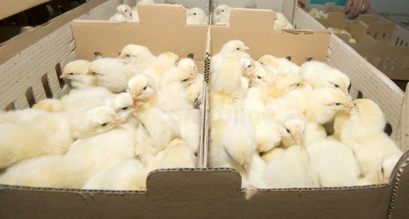 Produzione del pollo sull'azienda agricola fotografie stock