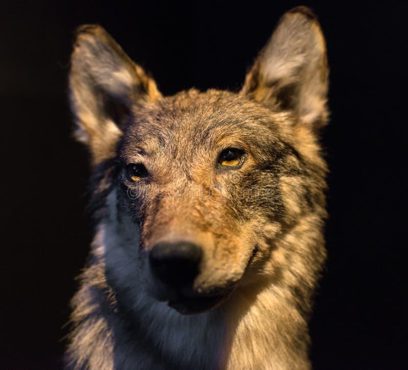 Proefgezicht van grijze wolf royalty-vrije stock foto's