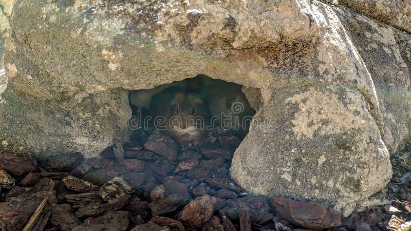 Proefkonijn bij de deur van zijn hol royalty-vrije stock foto's