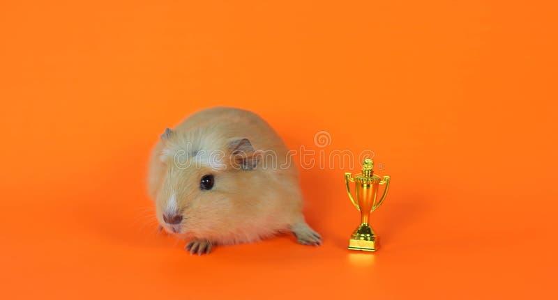 Proefkonijn op een oranje achtergrond met de kop stock afbeelding