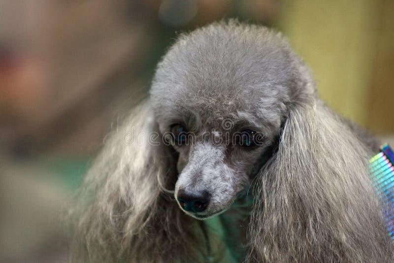 Profesional del groomer del peinado del perro de caniche fotografía de archivo