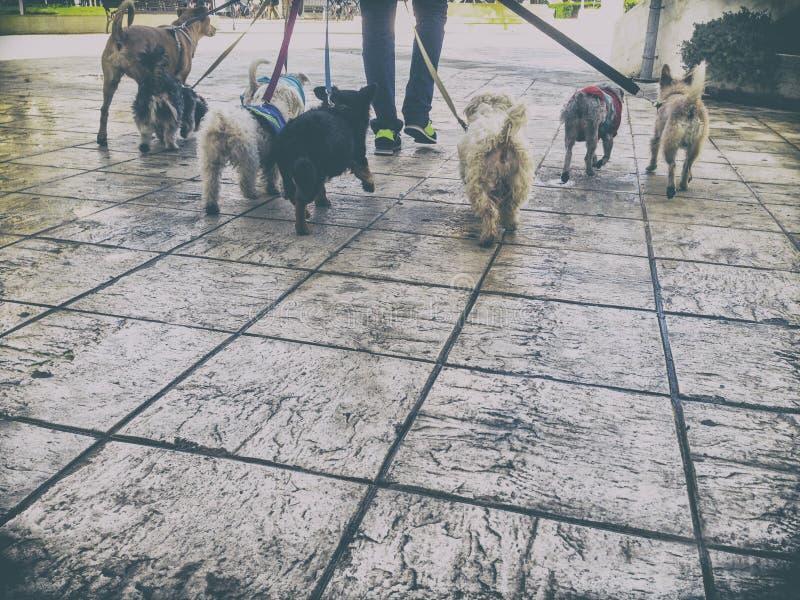 Profesjonalisty psi piechur z wiązką psy w starym mieście fotografia royalty free