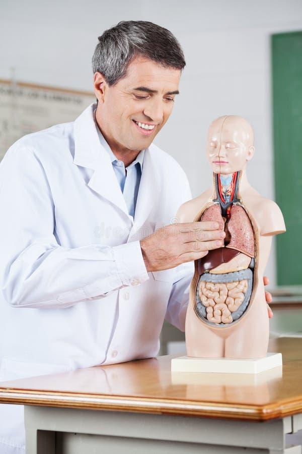 Professeur masculin Smiling While Examining anatomique photo libre de droits