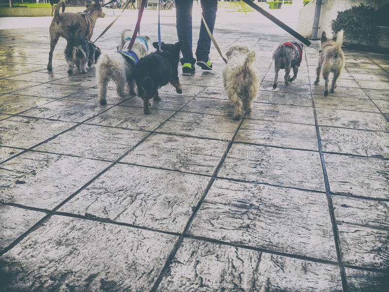 Professional dog walker with a bunch of dogs in the old city royalty free stock photography