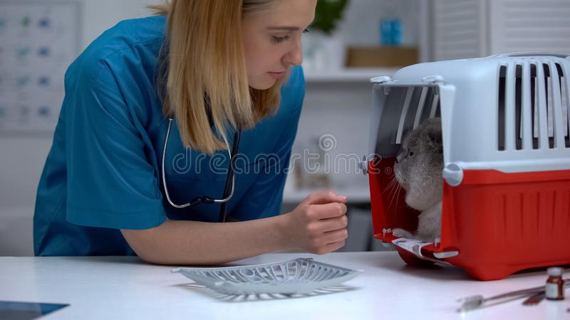 Professional female vet looking at cat after healthcare checkup, stressed pet. Stock photo royalty free stock images