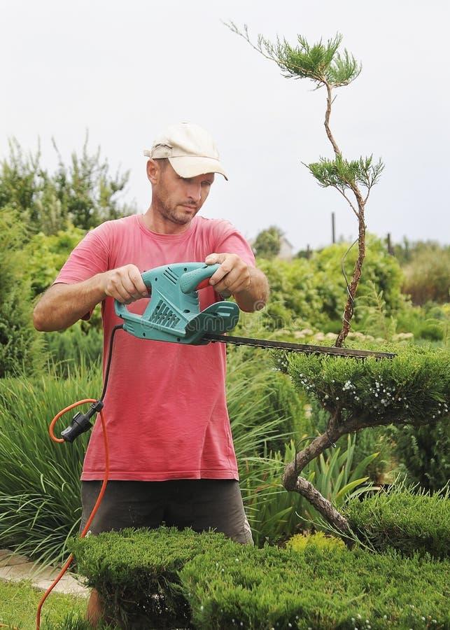 Professional Gardener Pruning conifers. Pruning Plants Close Up. Professional Gardener Pruning conifers royalty free stock photo