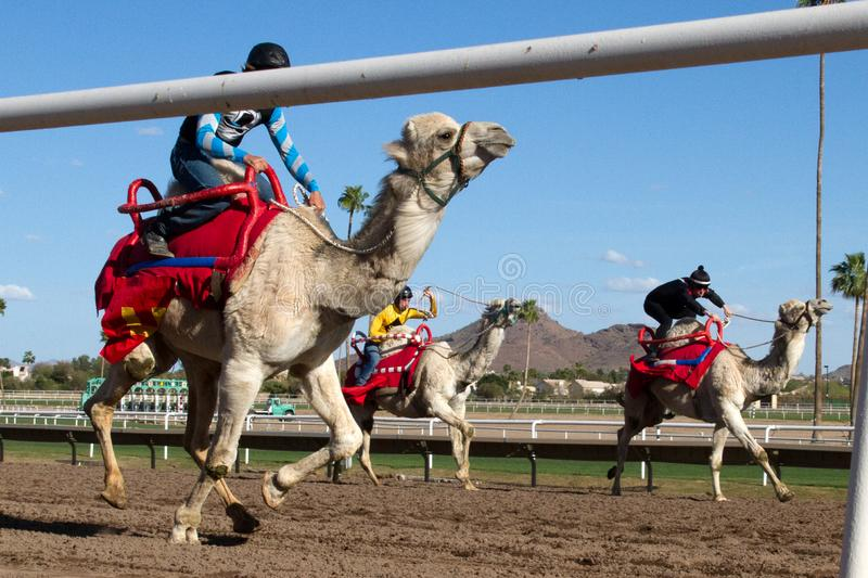 Camel Racing in Phoenix, Arizona, USA. Professional horse jockeys compete aboard live dromedary Arabian camels in a camel race at Turf Paradise horse racing royalty free stock images