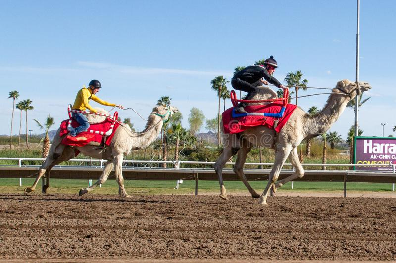 Camel Racing in Phoenix, Arizona. Professional horse jockeys compete aboard live dromedary Arabian camels in a camel race at Turf Paradise horse racing track in royalty free stock photography