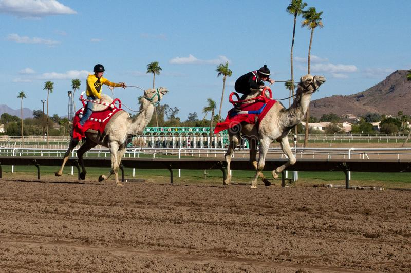 Camel Racing in Phoenix, Arizona. Professional horse jockeys compete aboard live dromedary Arabian camels in a camel race at Turf Paradise horse racing track in stock photos