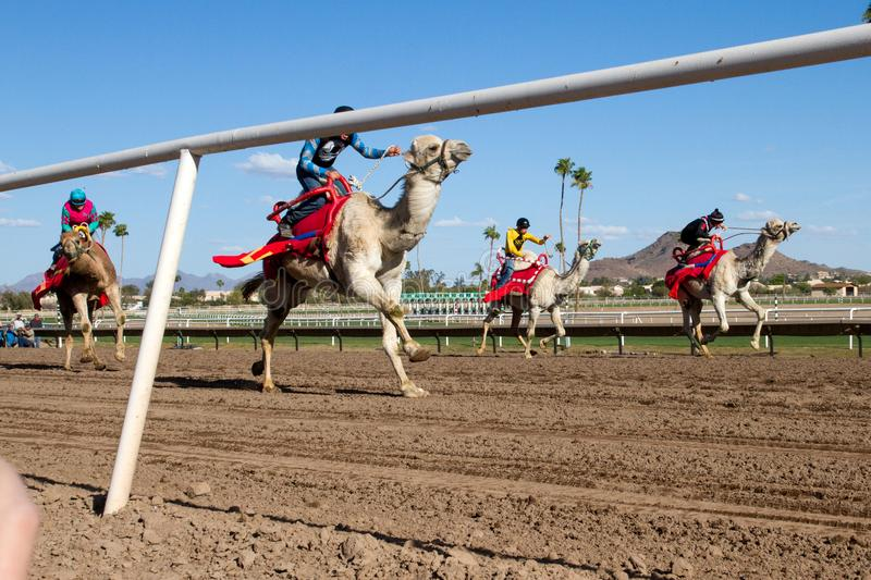 Camel Racing in Phoenix, Arizona. Professional horse jockeys compete aboard live dromedary Arabian camels in a camel race at Turf Paradise horse racing track in stock image