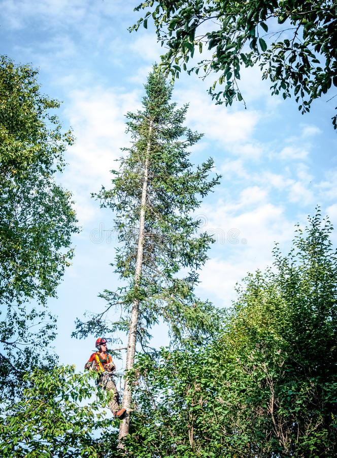 Professional lumberjack cutting tree on the top. With a chainsaw in Quebec country, Canada -- serial pictures stock photography