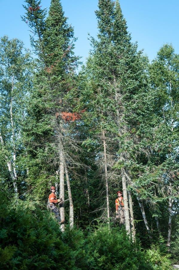 Professional lumberjacks cutting tree on the top stock photography