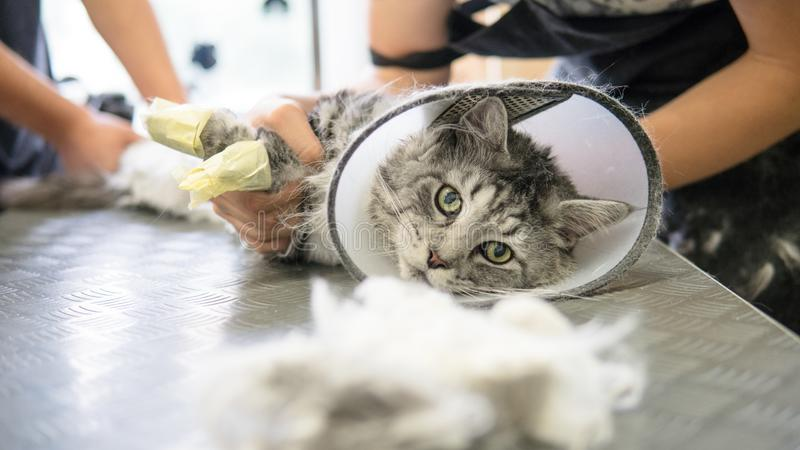 Professional Maine Coon Cat Grooming Close-up  Stock Image