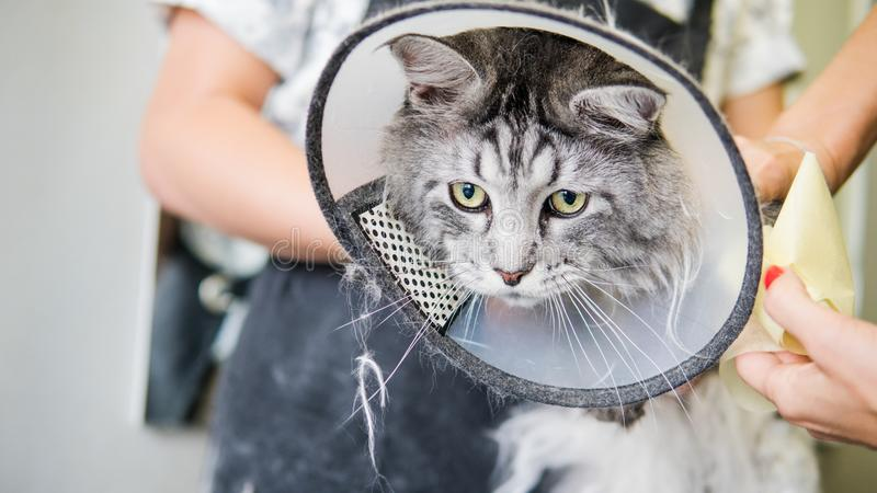 Professional Maine Coon Cat Grooming close-up. royalty free stock image