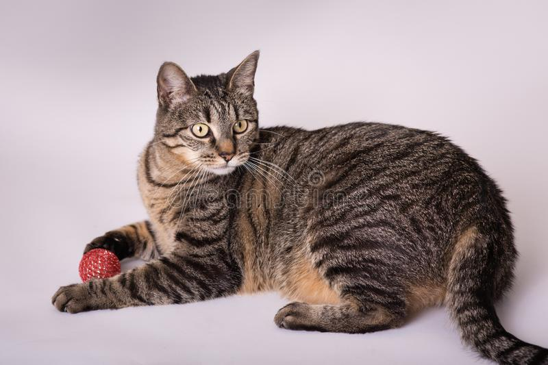 Portrait of domestic curious house cat playing with toy ball stock photo