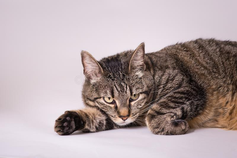 Domestic house kitty cat laying head down on out reached paw stock images