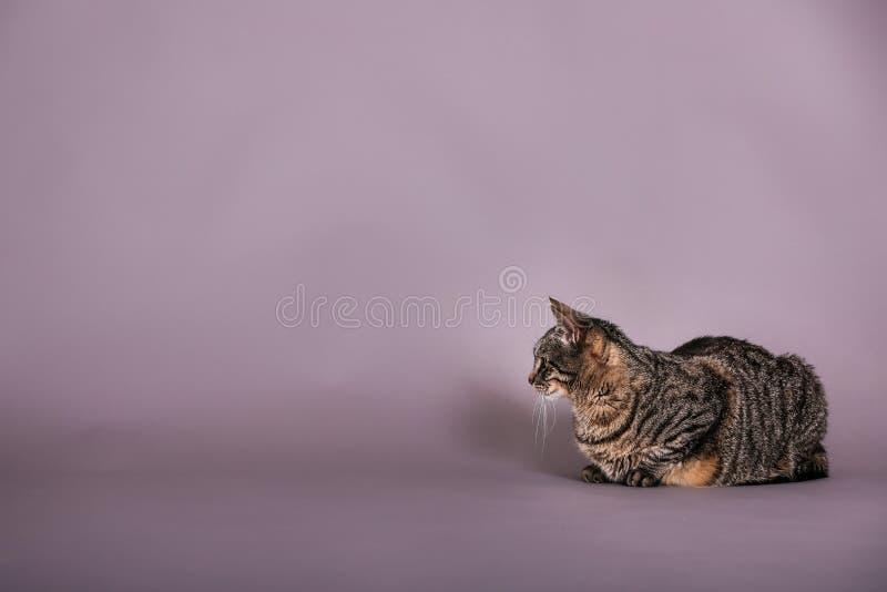 Gray and black tabby cat full body profile in studio portrait royalty free stock photo