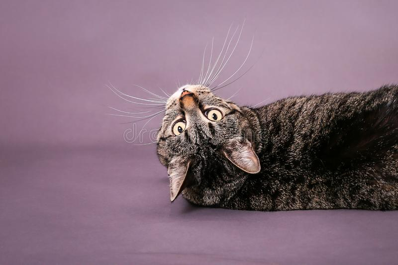 Tabby cat looking upside don long whiskers big eyes in studio royalty free stock photography