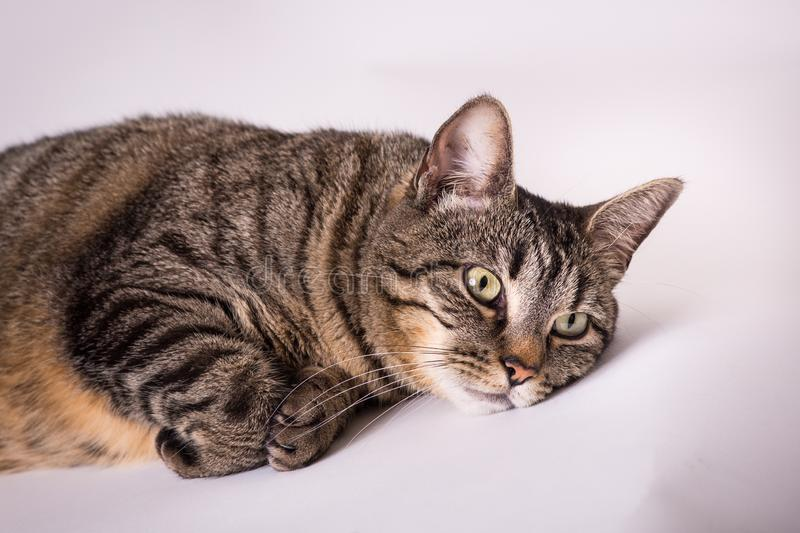 Close up of domestic tabby laying head down paws curled under resting royalty free stock image