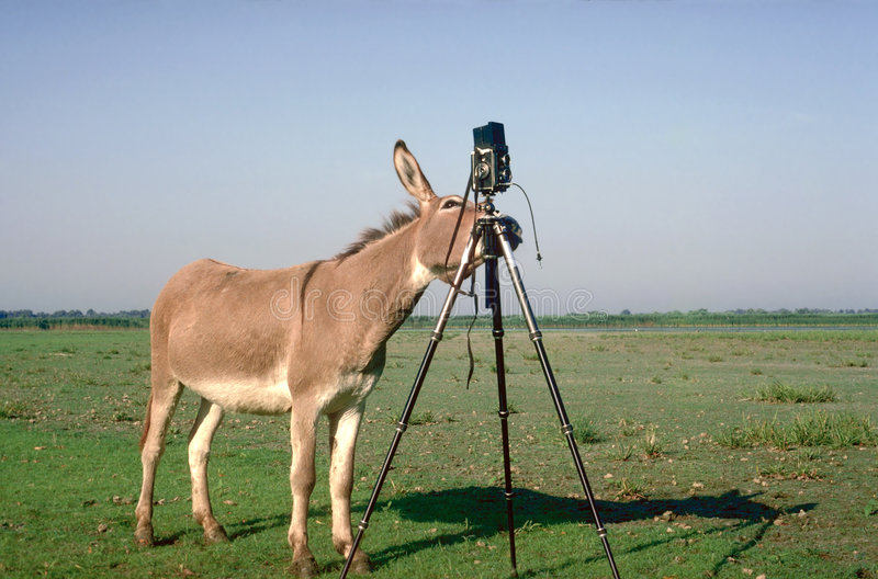 Professional photographer. Donkey in the Danube Delta, Romania royalty free stock photography