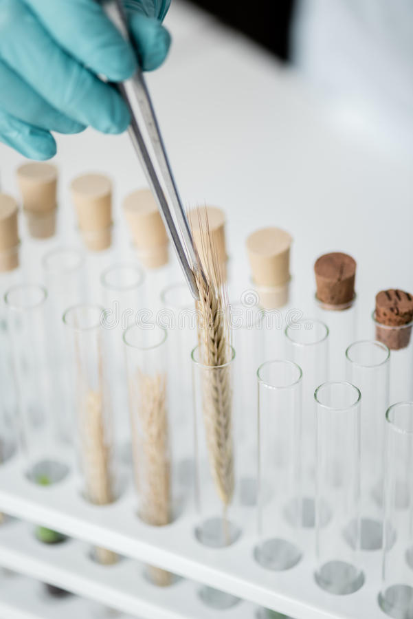 Professional scientist making experiment with wheat ears in test tubes. Close-up partial view of professional scientist making experiment with wheat ears in test royalty free stock images