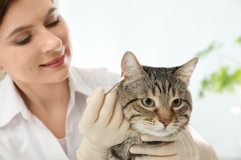 Professional veterinarian cleaning cat`s ears stock images