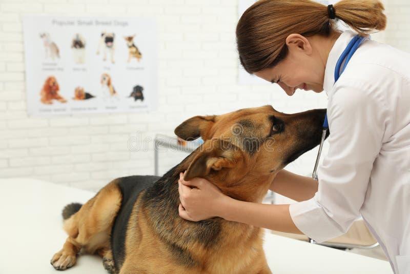 Professional veterinarian examining German Shepherd dog stock photo