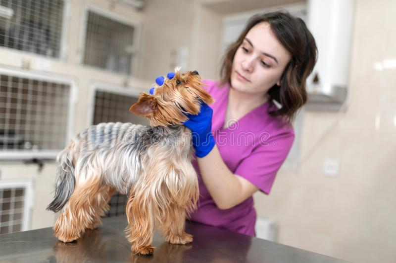 Professional veterinary doctor vaccinates a small dog breed Yorkshire Terrier. A young woman veterinarian Caucasian royalty free stock image