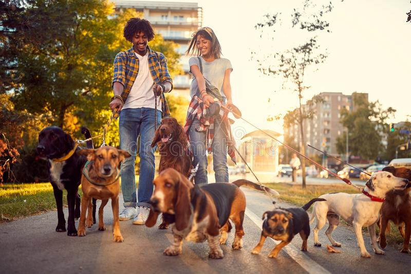 Professional walkers dog enjoying in walk with dogs. Outdoors stock photos