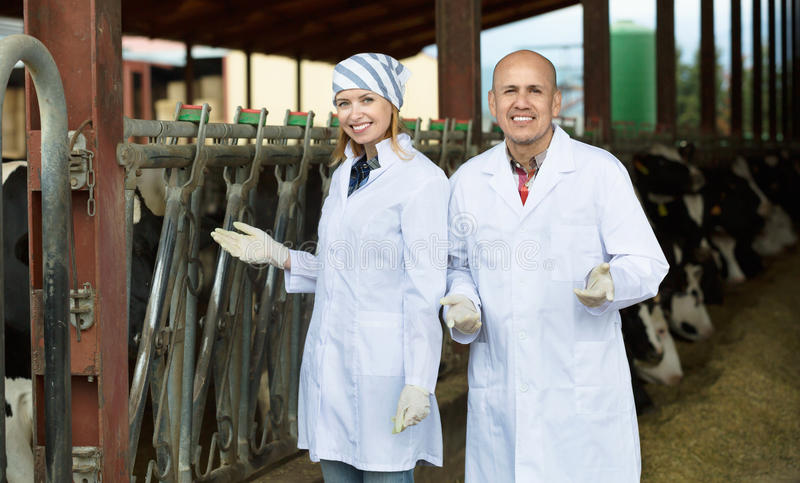 Professional workers in white gown taking care of dairy herd. Professional friendly smiling workers in white gown taking care of dairy herd stock photography