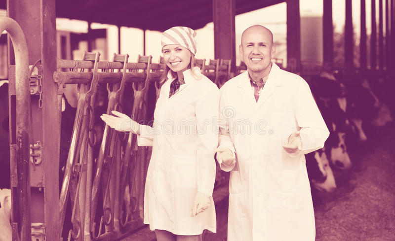 Professional workers in white gown taking care of dairy herd. Professional friendly smiling workers in white gown taking care of dairy herd royalty free stock images