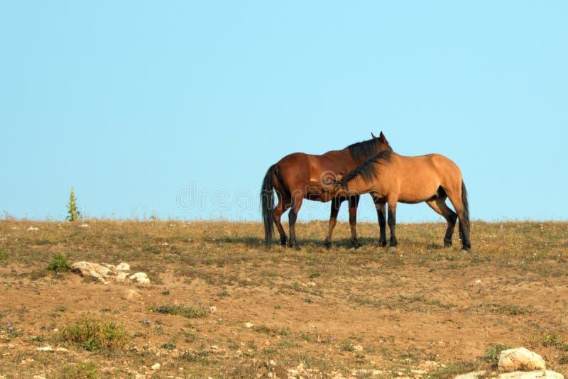 Professione d'infermiera dello stallone dell'acaro degli agrumi del maschio adulto da una giumenta nella gamma del cavallo selvag fotografie stock