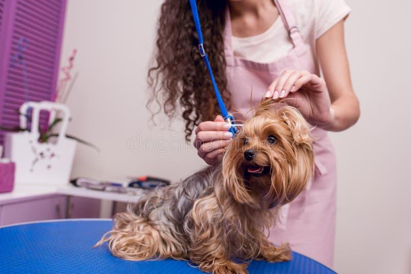 Professionele groomer in schort schoonmakende oren van leuke kleine bonthond stock afbeelding
