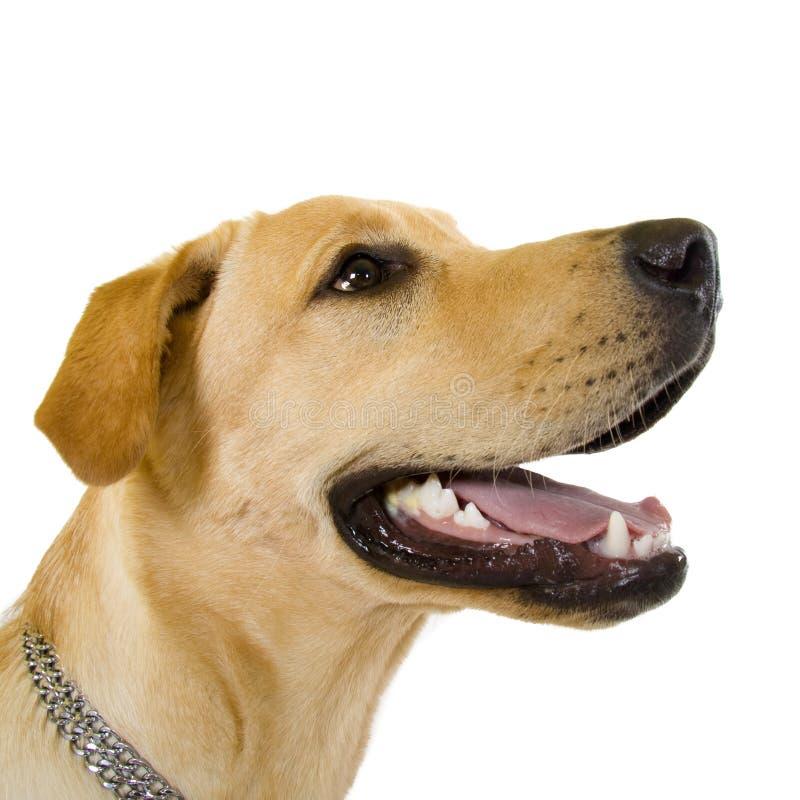 Profiel van aanbiddelijk Labrador stock foto