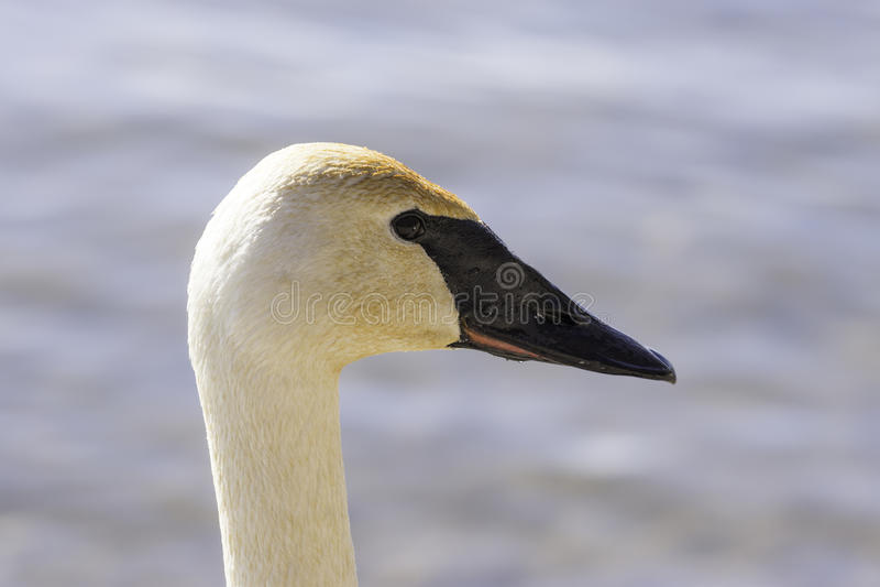 Profiel van bevallige natte zwaan, hoofd die slechts, in afternoo glanzen royalty-vrije stock foto