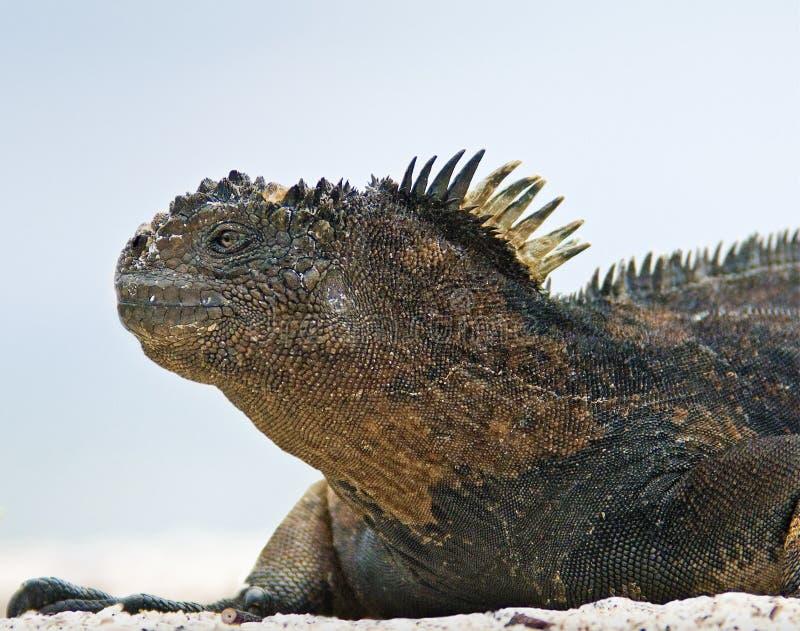 Profiel van de Leguaan van de Galapagos het Mariene stock afbeelding