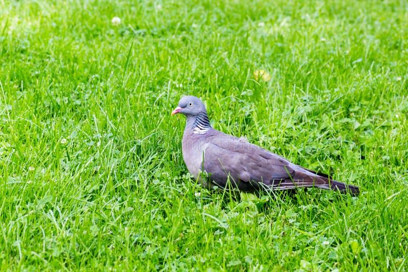Profiel van een Groen Gras van Grey Pigeon Standing Alone On stock afbeeldingen