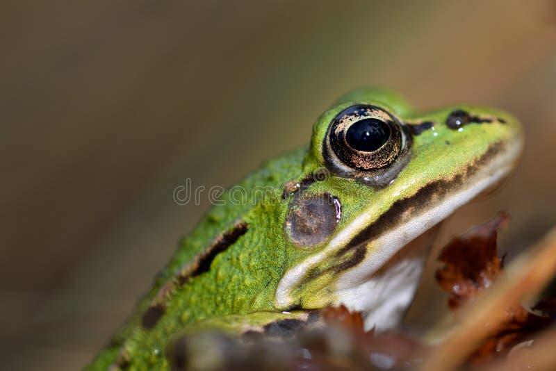 Profiel van een groene kikker royalty-vrije stock fotografie