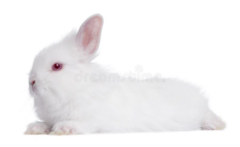 Profiel van een Jong wit Konijn (5 weken oud) stock foto's