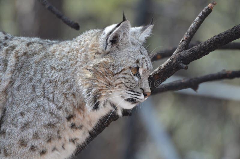 Profiel van een Lynx royalty-vrije stock afbeelding