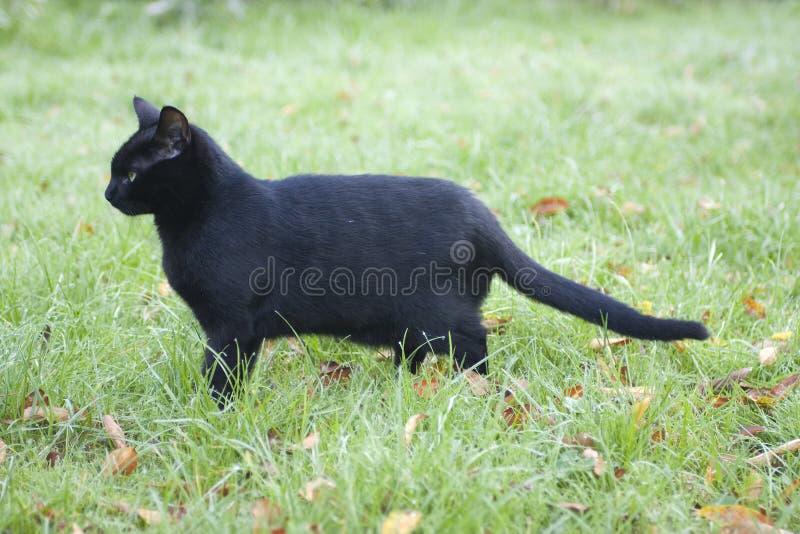 Profiel van een zwarte kat royalty-vrije stock foto's