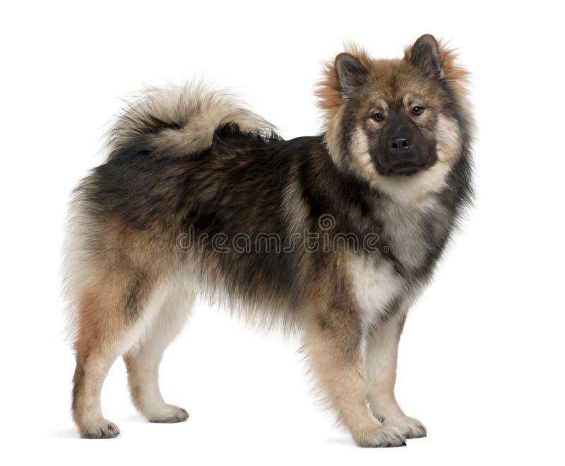 Profiel van Eurasier hond, status royalty-vrije stock afbeelding