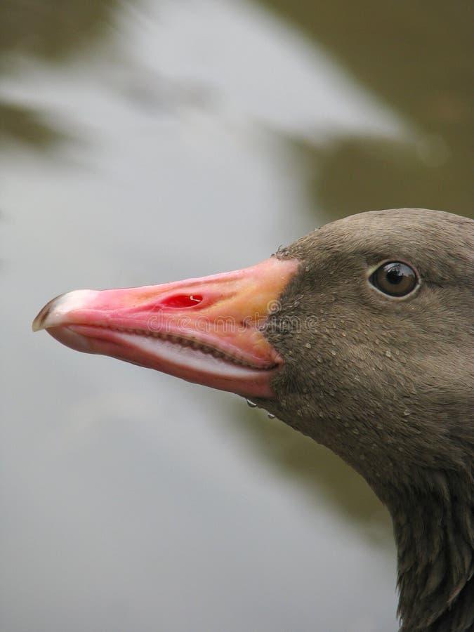 Profiel van grijze gans stock afbeelding