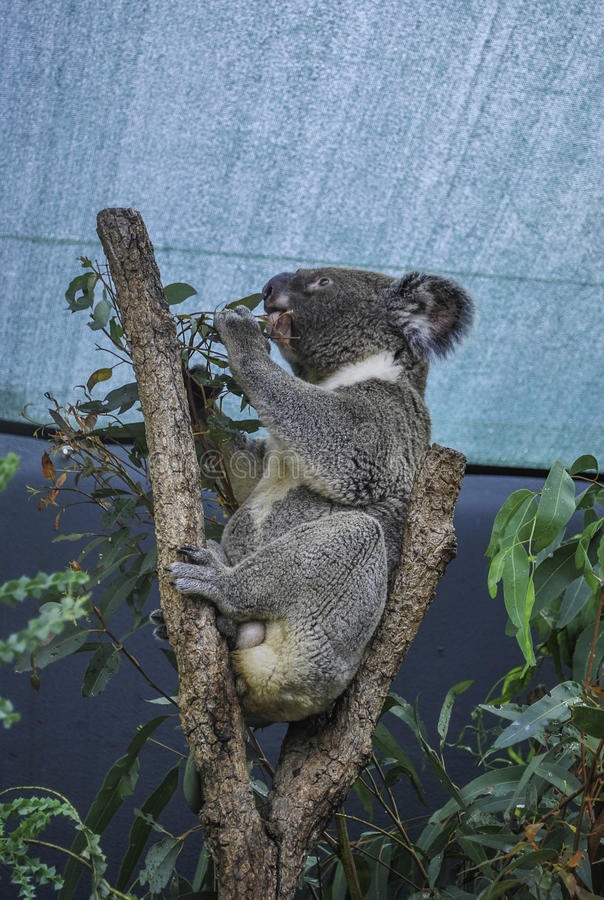Profiel van Koala die bladeren eten onder het dak in Australië royalty-vrije stock foto