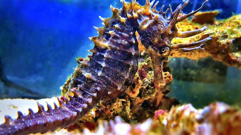 Profiel van Mediterrane Seahorse in de tank van het Zoutwateraquarium - Zeepaardjeguttulatus royalty-vrije stock afbeeldingen