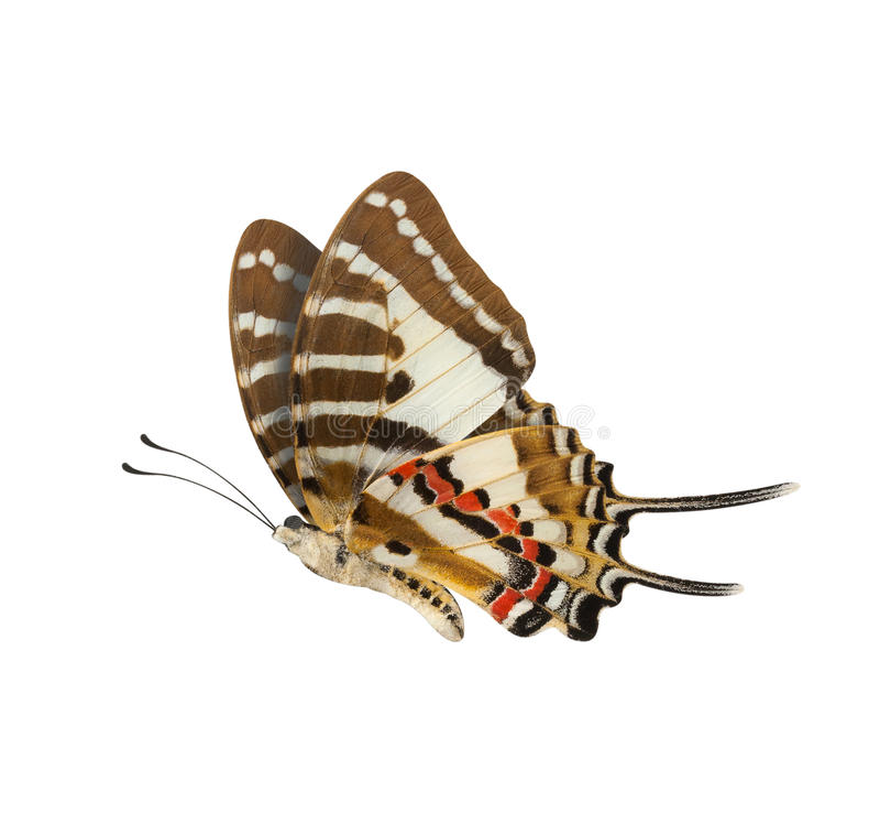 Profiel van vlinder het Lagere die vleugels over witte achtergrond wordt geïsoleerd stock afbeeldingen