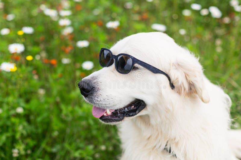 Profielportret van de grappige zitting van de Golden retrieverhond op het bloemgebied insummer en dragend zonnebril royalty-vrije stock foto