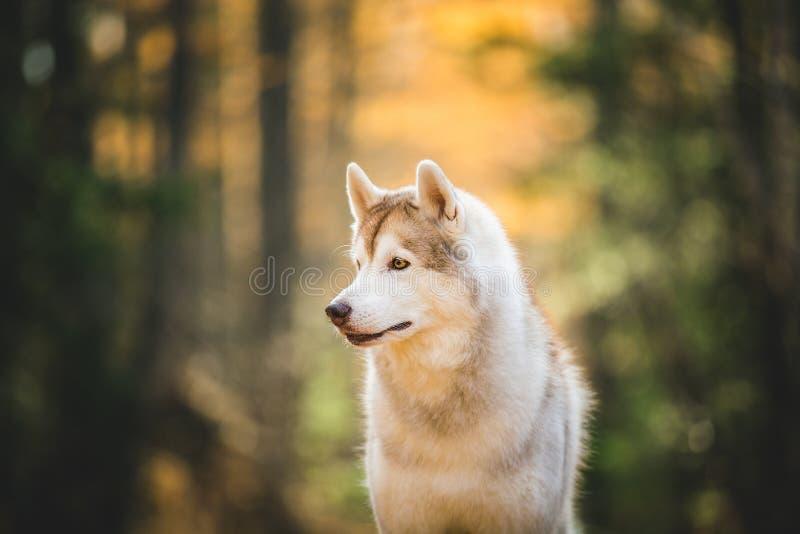 Profielportret van de schitterende, aandachtige en prideful Beige en witte Siberische Schor zitting van het hondras in het helder stock foto's